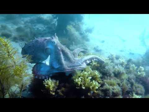 Maori Octopus hunting (Macroctopus maorum)