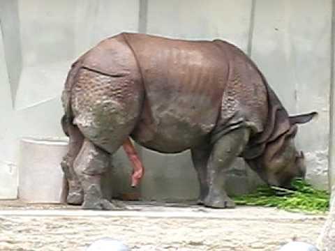 愛知県の東山動植物園の朝から元気なサイ - YouTube