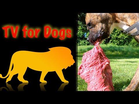 Asmr   Cute Boxer dog eats expensive steak 5,5 lbs   Raw meat