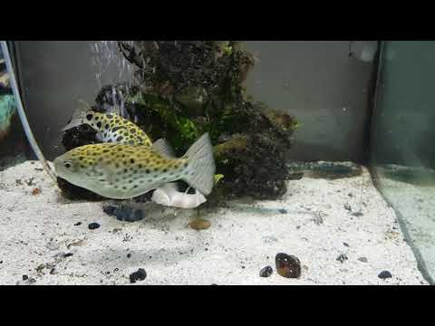 Green Spotted Puffer Fish Eating King Prawn
