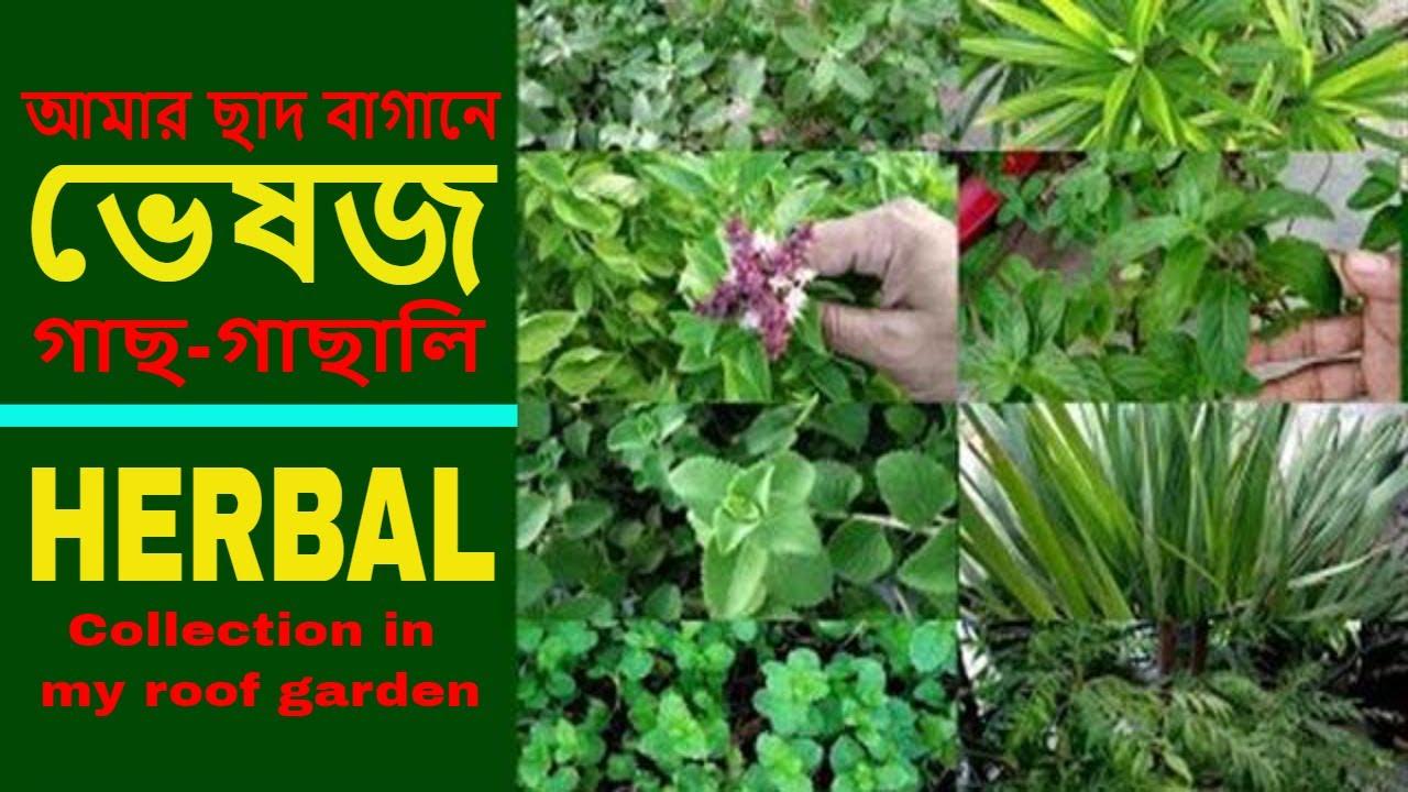 আমার ছাদ বাগানে হার্বাল বা ভেষজ গাছ-গাছালি (Herbal plants collection in my roof garden)