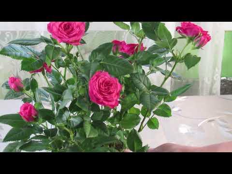 Миниатюрные розы в горшках уход в домашних условиях