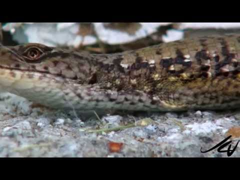 Northwestern Alligator Lizard - Reptiles of British Columbia  - YouTube