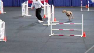 Weimaraner At The Akc Agility Invitational 2008