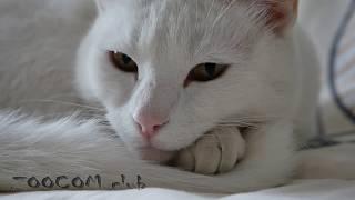 Фрося - белая кошка, которая немного пёс.