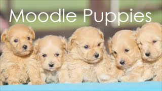 Cute Moodle Puppy