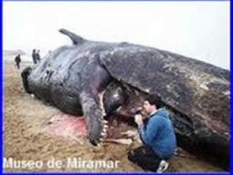 El mamifero mas grande del mundo youtube for Cual es la cama mas grande