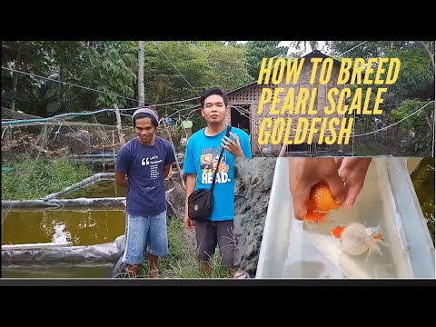 Easiest Method To Breed Pearlscale Goldfish  W Tips