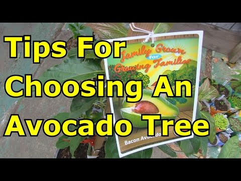 Must Before Buying An Avocado Tree From The Nursery