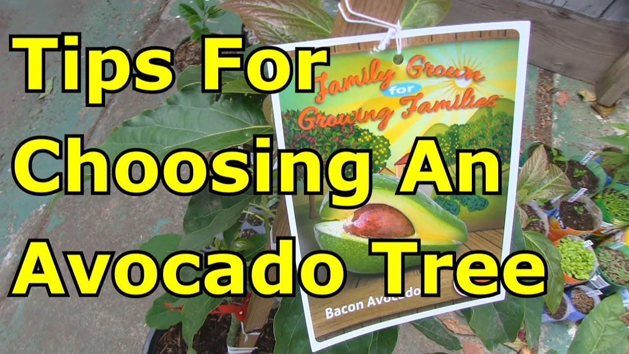An Avocado Tree From The Nursery