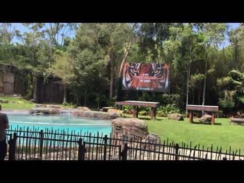 dreamworld-all-new-tiger-island-tigers-walking-around-gold-coast-australia.