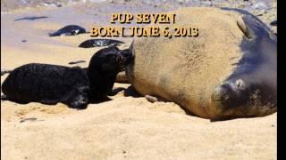 Hawaiian Monk Seal Insights:Ten Moms and Pups Kalaupapa 2013