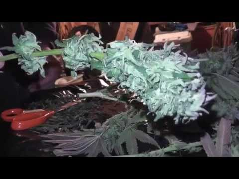 Outdoor Grow 2012 - Trimming - Part 12