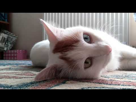 Cute Turkish Van Cat |Boncuk|