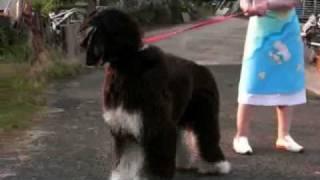 柴犬小梅嬢が新しい犬友達、2匹のアフガンハウンド「ジョニー&ジミー」...