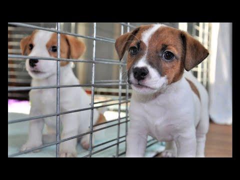 Feeding Puppies Jack Russell Terrier / Jack Russell Terrier puppies eating / funny puppies