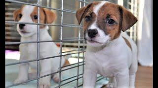 Кормление 2-месячных щенков Джек рассел терьера. Feeding Puppies Jack Russell Terrier