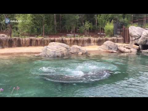 Hippos return to the Dallas Zoo