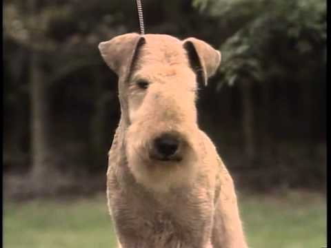 Lakeland Terrier - AKC Dog Breed Series