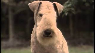 Lakeland Terrier  AKC Dog Breed Series