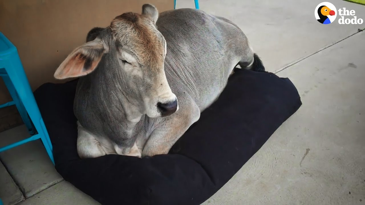 Cow Curls Up In Dog Bed The Dodo Youtube