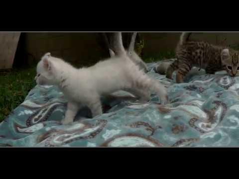 LynxHybrid - Halloween Post - Exotic  Kittens 6 Weeks old
