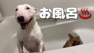 お風呂嫌いな2匹☆ 牡丹はいつも風呂上がりはソファで大暴れ   桜風はド...