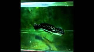 Si Toman Ikan Hias Predator Kelas Atas Air Tawar