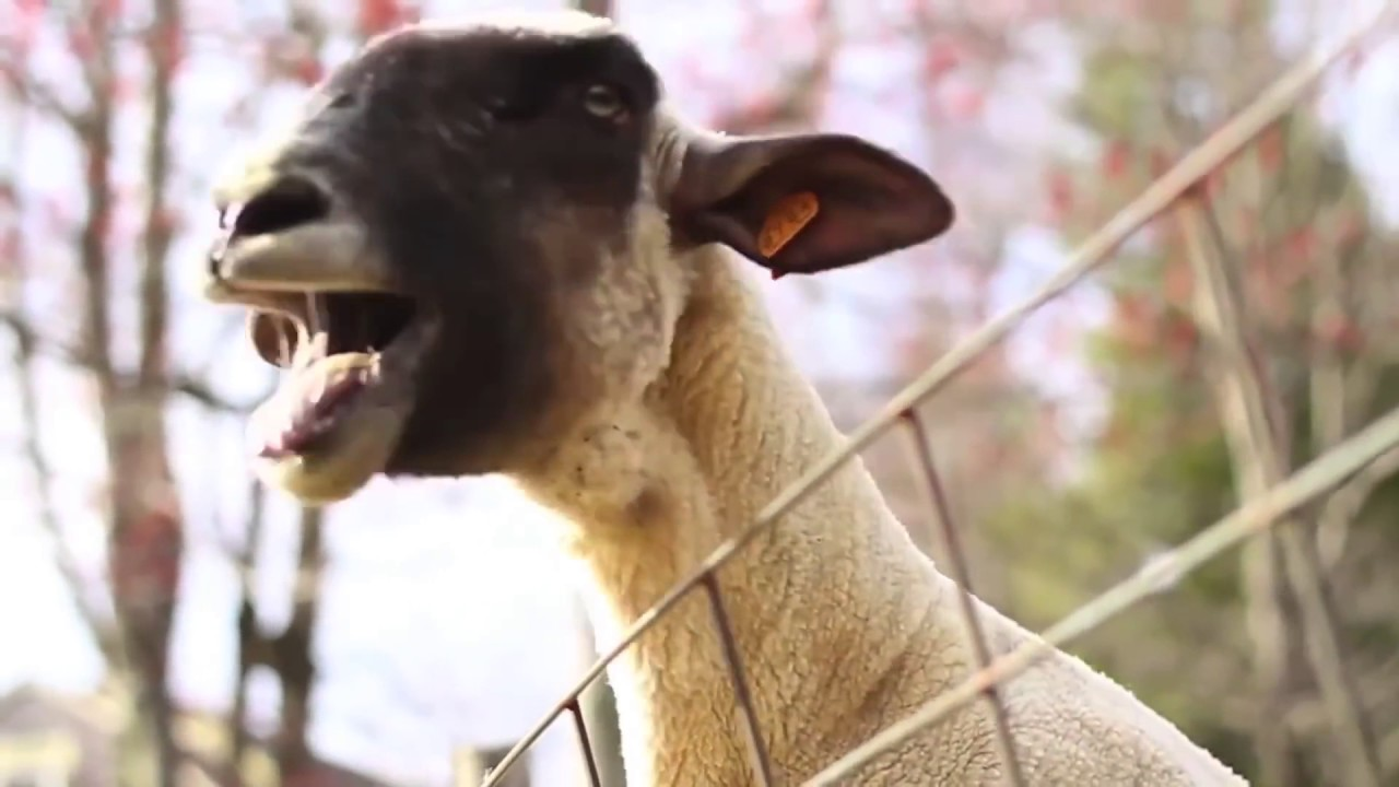 Just Goats Screaming Like Humans   Animals, Funny, Dog cat  Mom Screaming Goats Funny