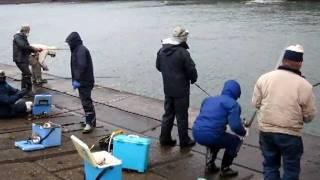 酒田北港ハタハタ釣り