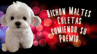 Bichon Maltes Coletas comiendo su Premio por Bueno 👍