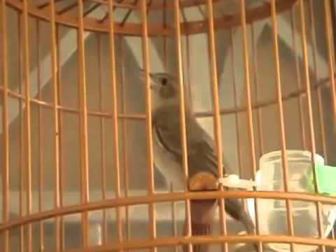 Burung Master  Sikatan Londo Nightingale