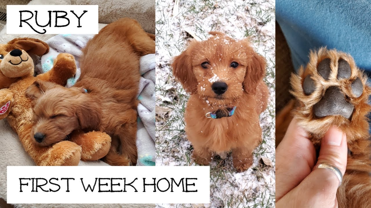 Goldendoodle Puppy 8 Weeks Old You