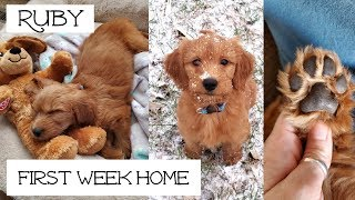 Goldendoodle Puppy 8 Weeks Old
