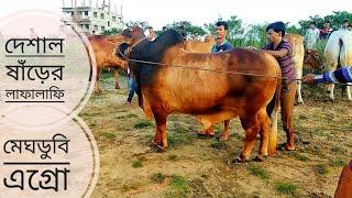005 | Must Watch | Deshi Bull | Afternoon Walk | Meghdubi Agro | ZbGH 2019
