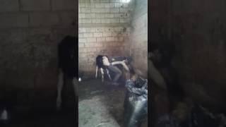 Inek Adamı Sikiyo