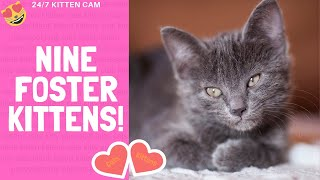 Shameless Kittens! We Foster Cats & Kittens! #shamelesskittens - 24/7 Kittencam - 9 foster kittens!