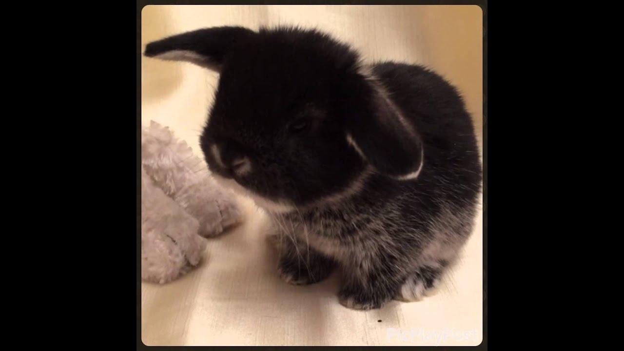 вислоухий декоративный кролик фото