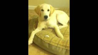 Jaxson's Tricks - 5 Month Old (almost) Golden Retriever Puppy Training