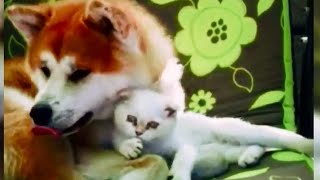 Дружба собаки и кота / Dog and Cat Friendship, Akita Inu and Scottish Fold