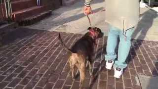 Dog Aggressive Staffordshire Terrier Rehabilitation