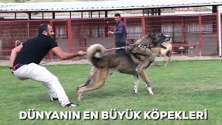Kangalların Atışması ANADOLU KANGAL ÇİFTLİGİ 05545157708