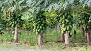 अद्भुत कृषि प्रौद्योगिकी पपीता कि खेती विश्व भारत में अच्छे तरीके से की जाती हैं