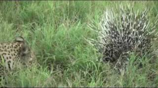 Porcupine Vs Leopard: Another battle at Kruger