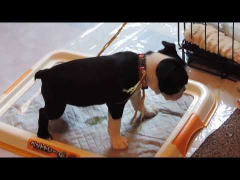 7 weeks old Boston Terrier already potty trained (how to train to use the pee pad)