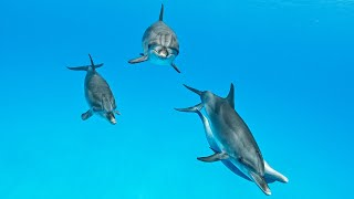 Dolphin's Playtime - incredible underwater moments with wild dolphins (2021)