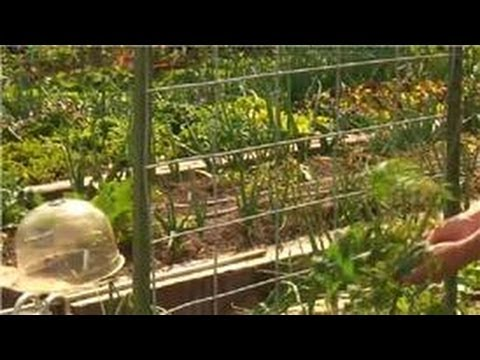 Growing Tomatoes : How to Make a Tomato Trellis<a href='/yt-w/Nb1PhI6Tgvs/growing-tomatoes-how-to-make-a-tomato-trellis.html' target='_blank' title='Play' onclick='reloadPage();'>   <span class='button' style='color: #fff'> Watch Video</a></span>