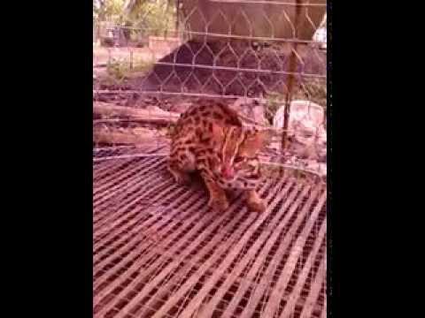 Mèo rừng được bắt tại Trà Côn ( Vĩnh Long)