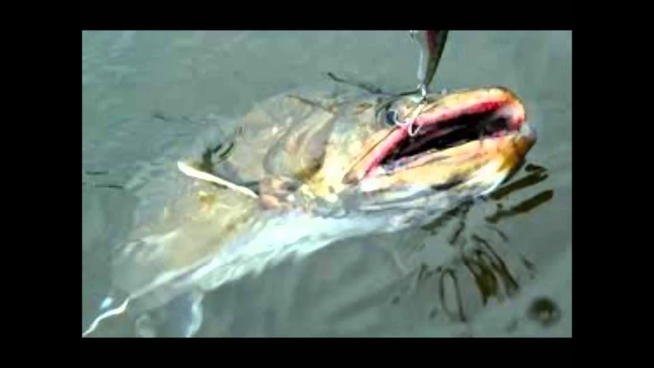 幻の古代魚「タキタロウ」本格的...