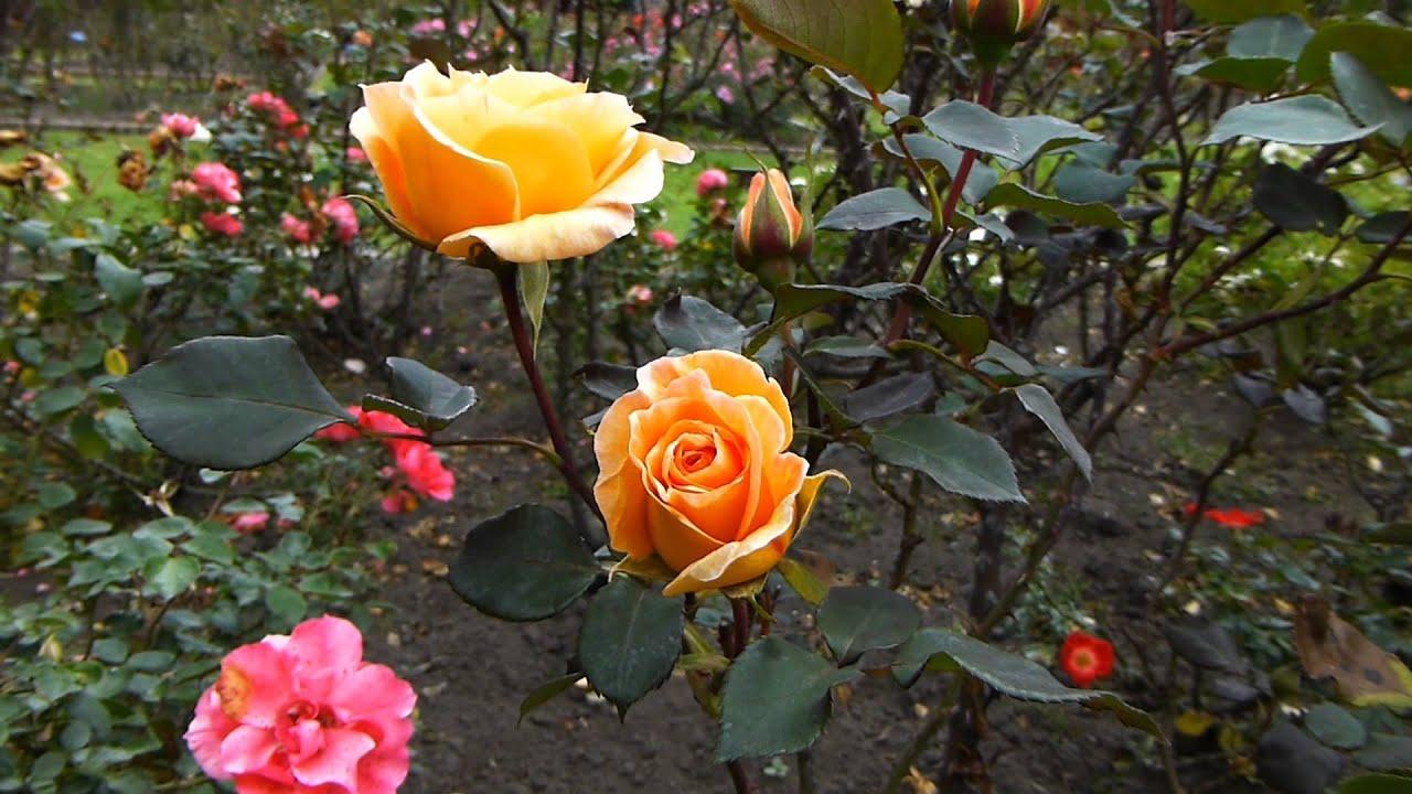 7781 rosas de un jard n raw plantas y naturaleza - Fotos de flores de jardin ...